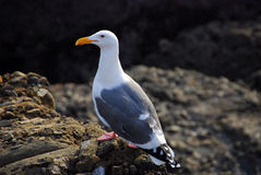 Mouette occidentale Photo libre de droits