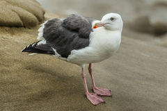 Mouette occidentale Photos stock