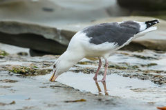 Mouette occidentale Images stock