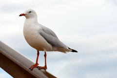 Mouette occidentale Image libre de droits
