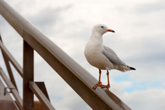 Mouette occidentale Images libres de droits