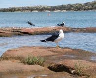 Mouette Pacifique, héron de récif et Cormorant pie Photos stock