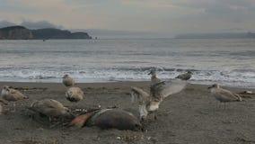 Mouette Pacifique mangeant le joint mort sur la plage clips vidéos