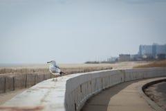 Mouette par le bord de la mer Photographie stock