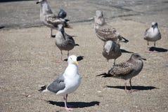 Mouette parmi un groupe d'oiseaux Photographie stock libre de droits