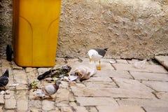 Mouette recherchant la nourriture en sachet en plastique et déchets d'éclats image libre de droits
