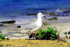 Mouette restant sur la plage Photo libre de droits