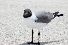 Mouette riante Photos stock
