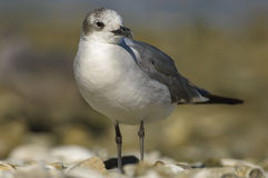 Mouette riante (atricilla de Larus) Photo stock