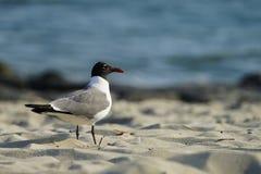 Mouette riante dans le plumage d'élevage sur le bord de la mer Images stock