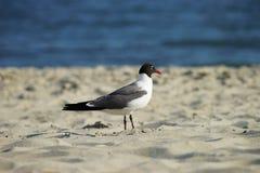 Mouette riante dans le profil de plumage d'élevage dans l'habitat naturel Photo libre de droits