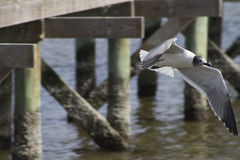 Mouette riante en vol photos libres de droits