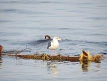 Mouette se reposant sur un bateau submergé Photos stock