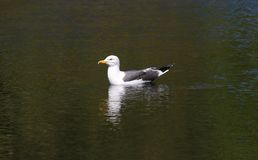 Mouette se reposant sur une voie navigable Image libre de droits
