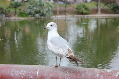 Mouette se tenant sur la balustrade Photo stock