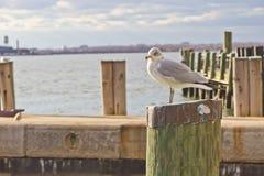 Mouette se tenant sur le poteau en bois Photographie stock libre de droits