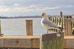 Mouette se tenant sur le poteau en bois Image libre de droits