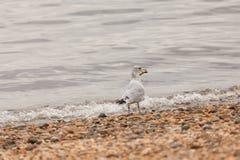 Mouette se tenant sur le rivage avec l'os de poulet photo stock