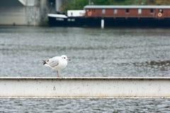 Mouette se tenant sur une balustrade près de la rivière Photos libres de droits