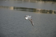 Mouette seule Images stock