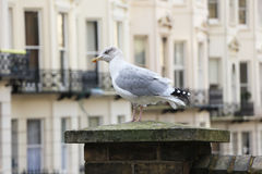 Mouette silencieuse Photographie stock