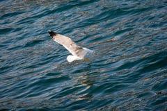 Mouette simple volant au-dessus des eaux de mer Image libre de droits