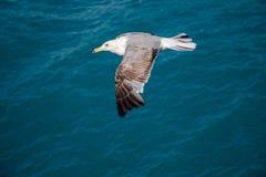 Mouette simple volant au-dessus des eaux de mer Photos libres de droits
