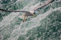 Mouette simple volant au-dessus des eaux de mer Image stock