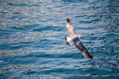 Mouette simple volant au-dessus des eaux de mer Photo stock