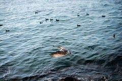 Mouette simple volant au-dessus des eaux de mer Photos stock