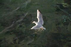 Mouette simple volant au-dessus des eaux de mer Photographie stock libre de droits