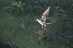 Mouette simple volant au-dessus des eaux de mer Images stock