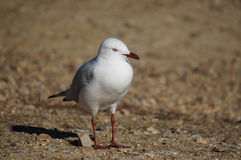 Mouette solitaire Photographie stock