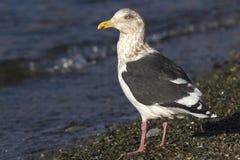 mouette soutenue par schisteux dans le plumage d'hiver se tenant sur le rivage du photos stock