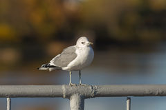 Mouette sur la balustrade Photo libre de droits