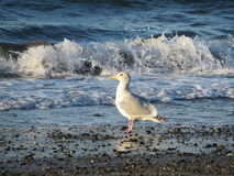 Mouette sur la plage Photo stock