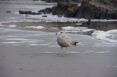 Mouette sur la plage de côte de Maine images libres de droits
