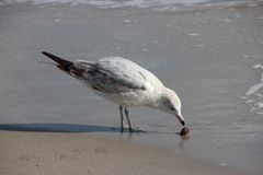 Mouette sur la plage de la Floride Photo stock
