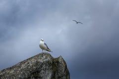 Mouette sur la roche Photographie stock libre de droits