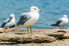 Mouette sur le bois de flottage Photo stock