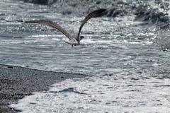 Mouette sur le bord de la mer Image libre de droits