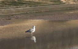 Mouette sur le bord de mer Photos libres de droits