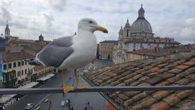 Mouette sur le dessus de toit dans Piazza Navona, Rome, Italie Photos stock