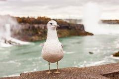 Mouette sur le fond des chutes du Niagara et de la rivière Niagara photographie stock