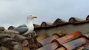 Mouette sur le nid images stock