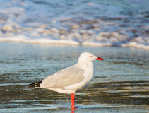 Mouette sur le ressac Photo stock