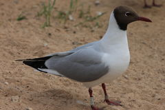 Mouette sur le sable photos stock
