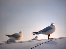 Mouette sur le toit Photo libre de droits