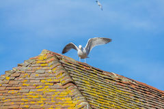 Mouette sur le toit carrelé image libre de droits