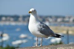 Mouette sur les remparts de Saint Malo photographie stock